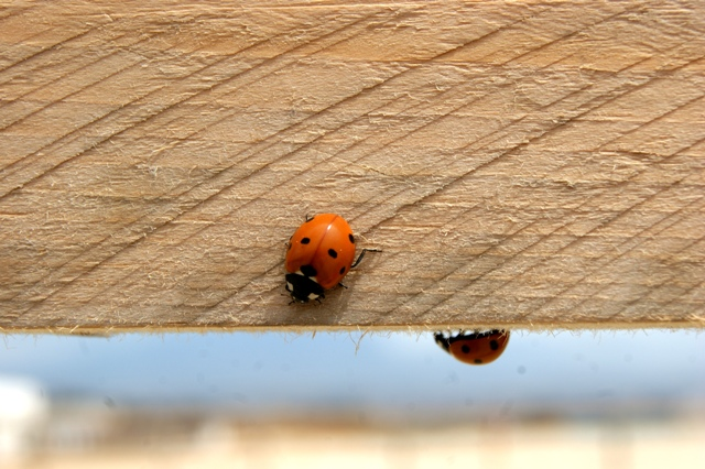 time of ladybugs