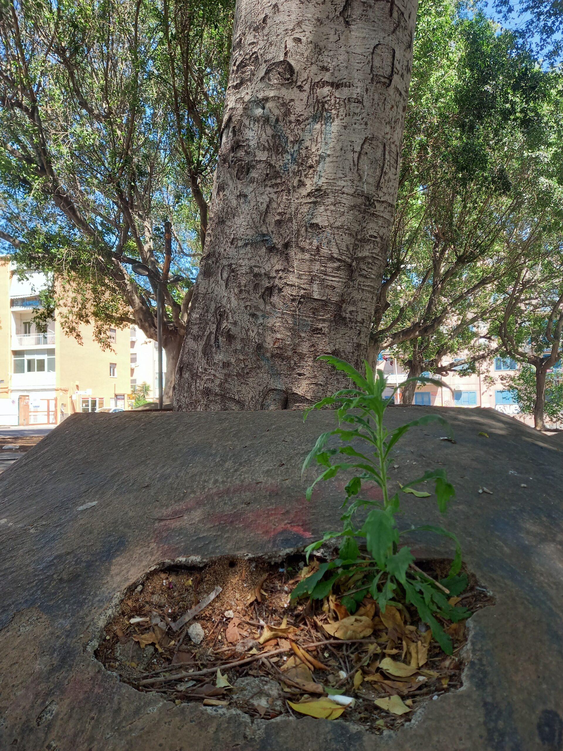Radici ricoperte da colate di cemento, credo sia la rappresentazione del totale decadimento, una volta anche se abbandonata la natura metteva ordine. Catania, Piazza Abramo Lincoln