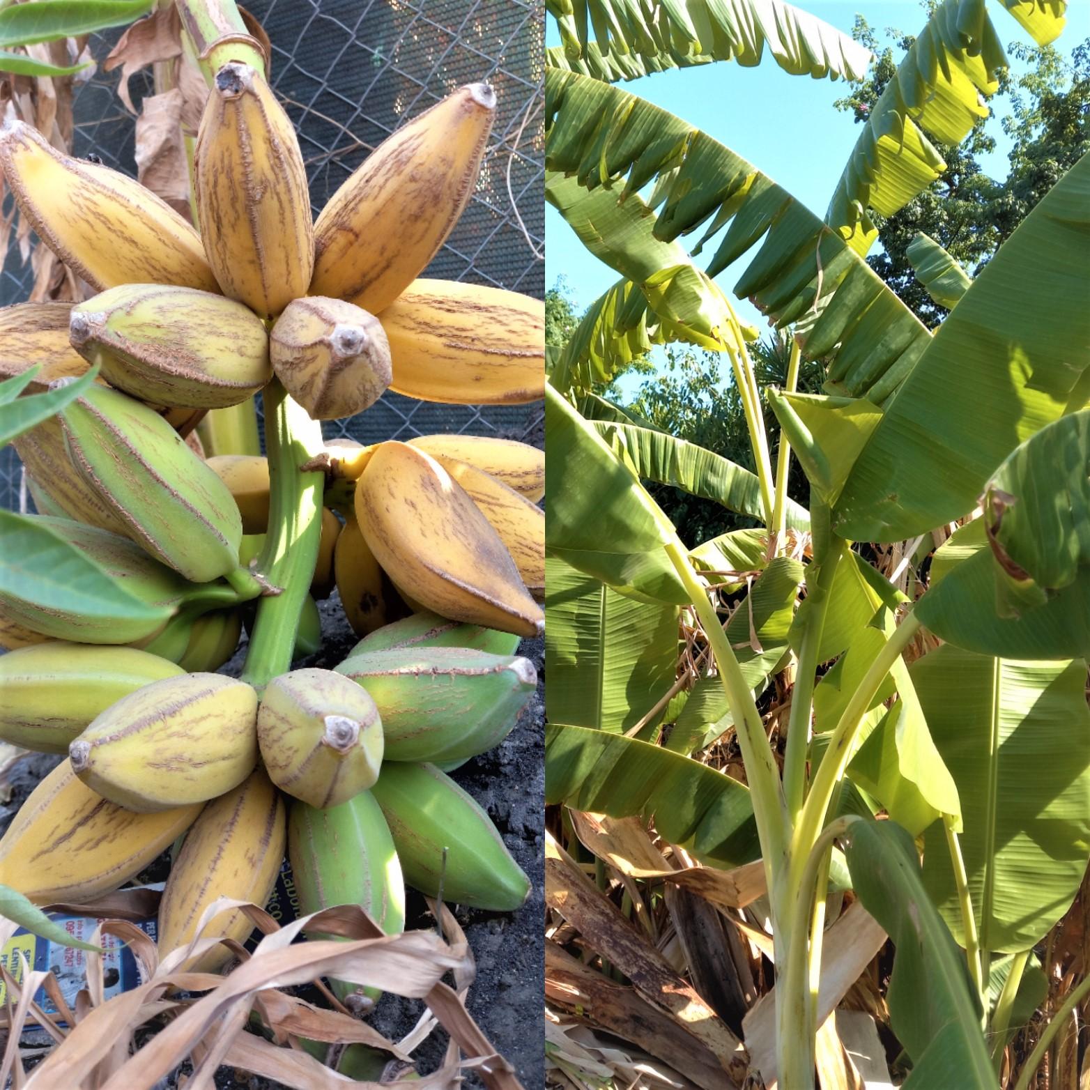 Banano, Desiderano riparo e acqua. Bananita, in Sicilia non si possono fare società e Nemmeno coltivare banane.